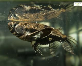 Afrikanischer Schmetterlingsfisch - Pantodon buchholzi