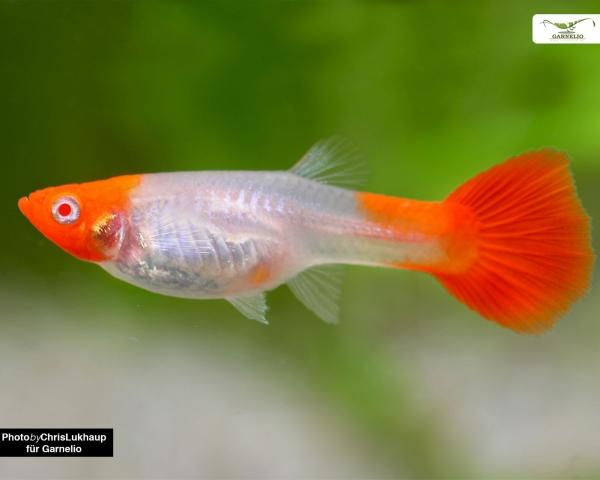 """Guppy Weibchen """"koi kohaku"""" - Poecilia reticulata"""