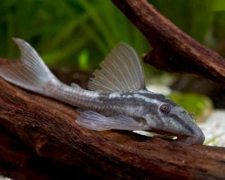 Schilderwels 5-6 cm - Hypostomus plecostomus