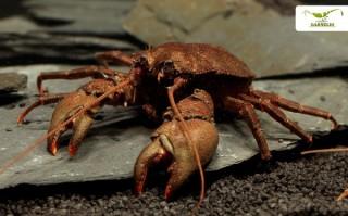 Krabbenkrebs - Aegla platensis