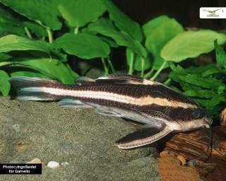 Liniendornwels - Platydoras costatus