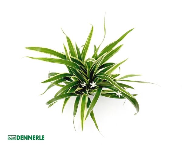 Grünlilie - Chlorophytum bichetii - Dennerle Topf