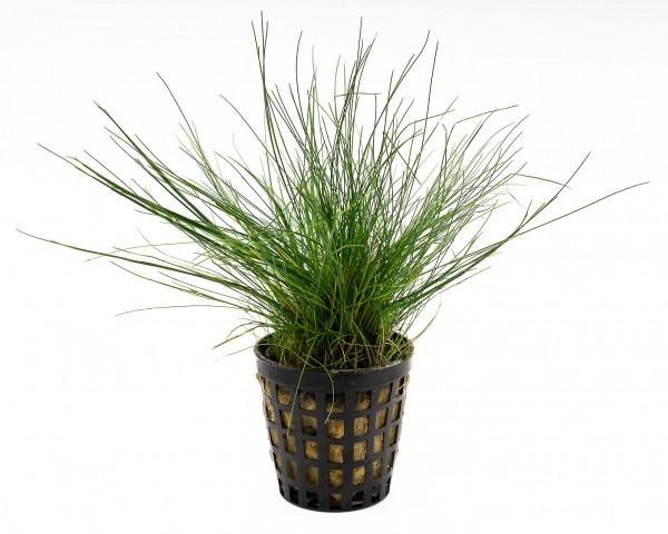 Zwerg-Nadelsimse - Eleocharis parvula - NatureHolic Plants - Topf