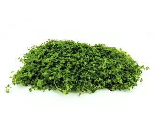 Monte Carlo - Pflanzen Matte - Micranthemum Monte Carlo - 20x15 cm