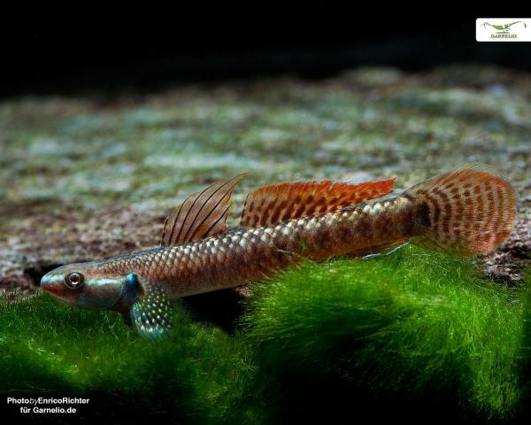 Orange Neongrundel - Stiphodon ornatus 3-4cm