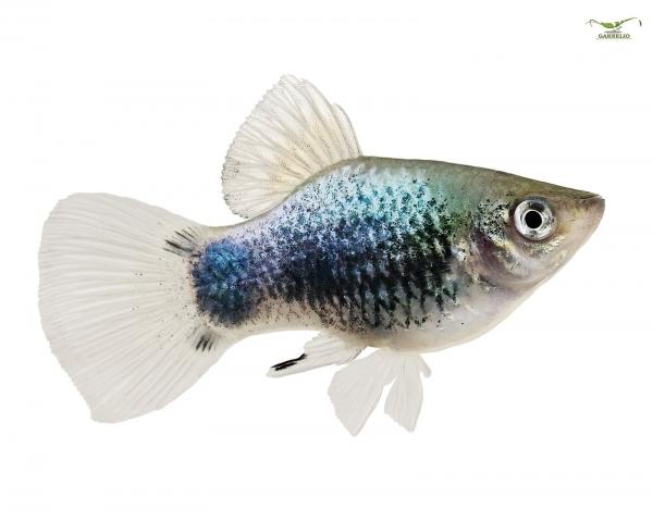 """Blauer Platy """"tuxedo"""" -  Xiphophorus maculatus"""