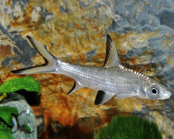 Haibarbe - Balantiocheilus melanopterus