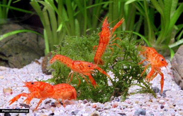 """Orangefarbener Zwergkrebs, Oranger Zwergflusskrebs - CPO - Cambarellus patzcuarensis """"orange"""""""