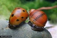 Orange Track Rennschnecke - Neritina turrita