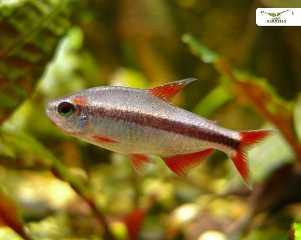 Rote Teufel - Hyphessobrycon piranga - DNZ