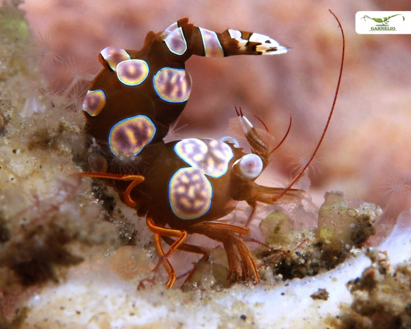 Sexy Nano Shrimp / Hohlkreuzgarnele - Thor amboinensis - MW
