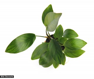 Herzblättriges Riesenspeerblatt - Anubias hastifolia - Dennerle Topf