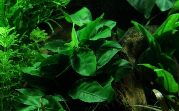 Zwergspeerblatt - Anubias barteri var. nana - Tropica Pflanze auf Lavastein