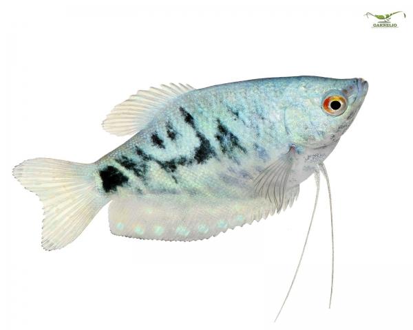 2x Fadenfisch blau -  Trichogaster trichopterus - Pärchen