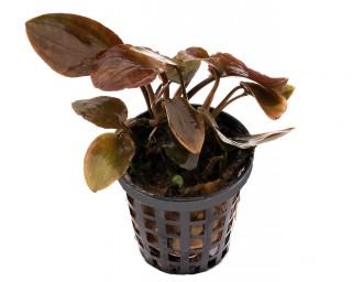 Meebolds Lagenandra - Lagenandra Meeboldii red - NatureHolic Plants - Topf