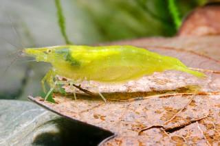 Grüne Garnelen, Giftgrüne Zwerggarnele - Caridina cf. babaulti
