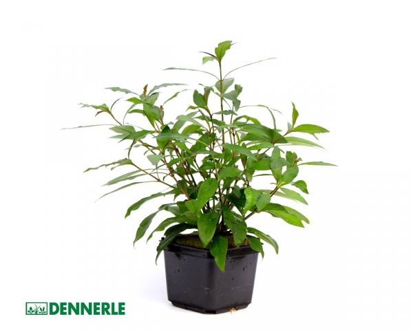 Kirschblättriger Wasserfreund - Hygrophila corymbosa 9x9cm Topf - Dennerle Topf