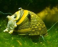 Geweihschnecke Sun Snail - Clithon corona