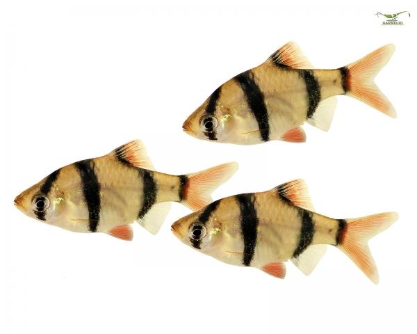 10x Sumatrabarbe - Barbus tetrazona