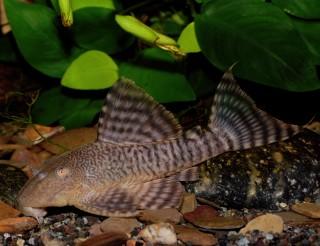 L226 - Rosafarbener Tigerharnischwels - Panaqolus changae - 5-6cm