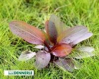 Schwertpflanze - Echinodorus Red Chamäleon - XXL 9x9cm Topf - Dennerle Topf