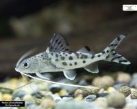 Engelswels - Pimelodus pictus - 5cm