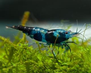 Tragende Blue/Black Rili Sakura Garnele - Neocaridina davidi