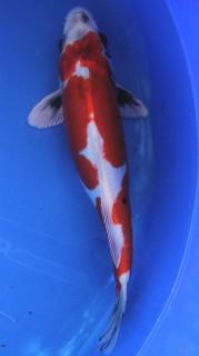 Beni Kikokuryu - 30 cm - AOKI -