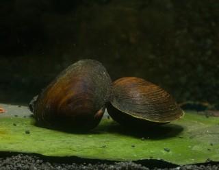 Schwarze Herzmuschel - Batissa violacea