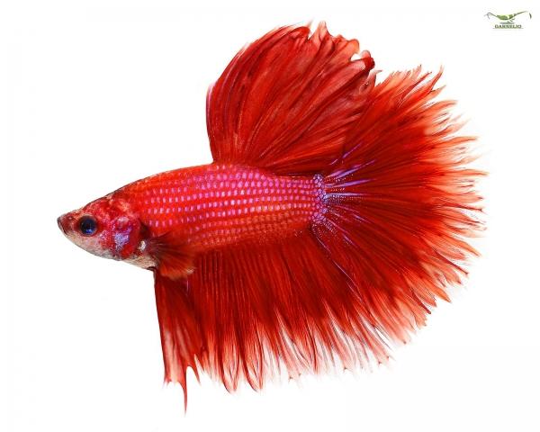 Kampffisch männlich Kammschwanz xl