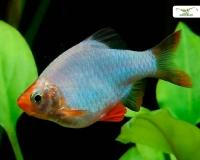 Sumatrabarbe platin-türkis - Barbus tetrazona