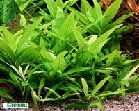 Riesenwasserfreund - Hygrophila corymbosa Stricta – Dennerle Topf
