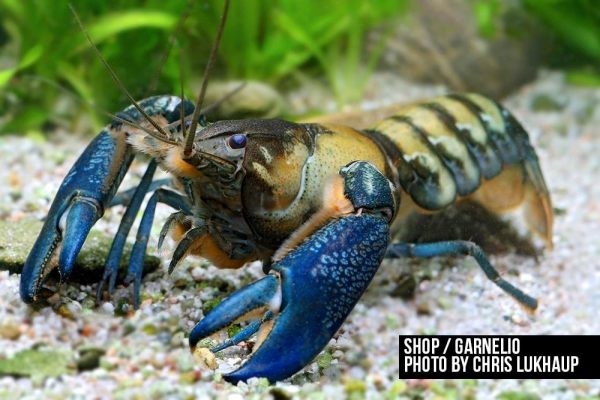 Blauer Papua Flusskrebs - Cherax communis