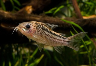 Napopanzerwels - Corydoras napoensis
