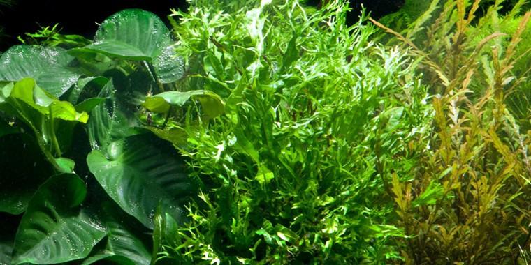 windel v javafarn microsorum pteropus 39 windel v 39 tropica topf hintergrundpflanze. Black Bedroom Furniture Sets. Home Design Ideas