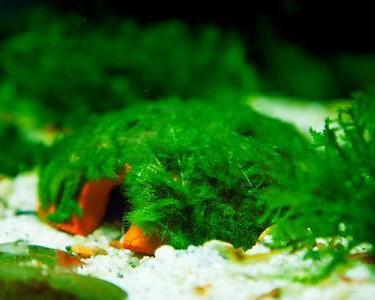Nano iglo bewachsen moosauswahl aquarium deko aquarienmoos auf deco aquarienmoose - Nano aquarium deko ...
