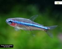 Blauer Neon - Paracheirodon simulans