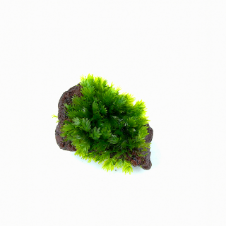 Vulkangestein 3-7 cm - Fissidens sp.