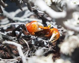 Rote Chamäleonkrabbe - Metasesarma aubryi