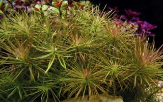 Sternpflanze - Pogostemon stellatus - Tropica Topf