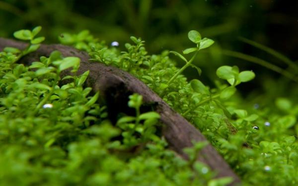 1-2-GROW! Montecarlo-Perlkraut /Micranthemum tweediei