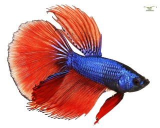 Kampffisch männlich Halfmoon xl - Betta splendens