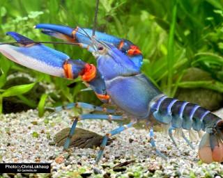 Blauer Tigerkrebs - Cherax peknyi var.