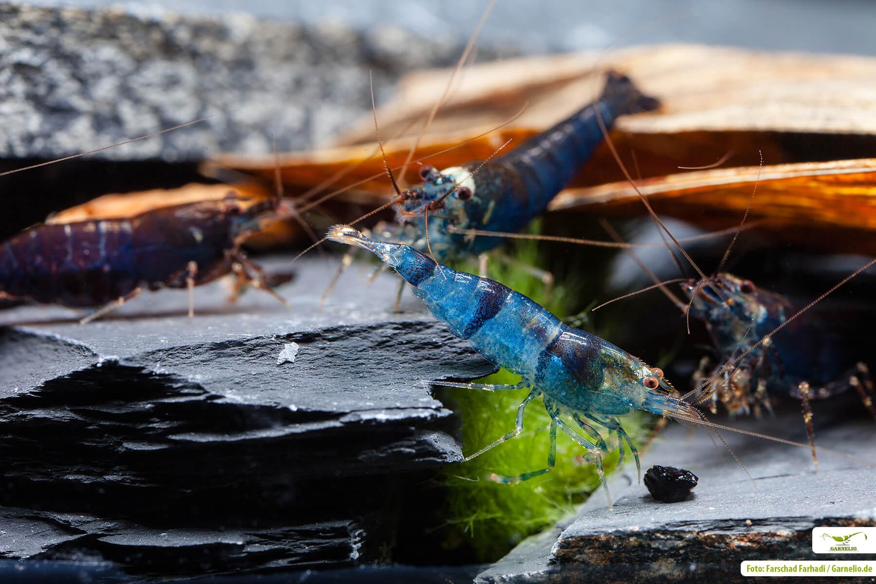 Garnelenkrankheiten bei Garnelen im Aquarium