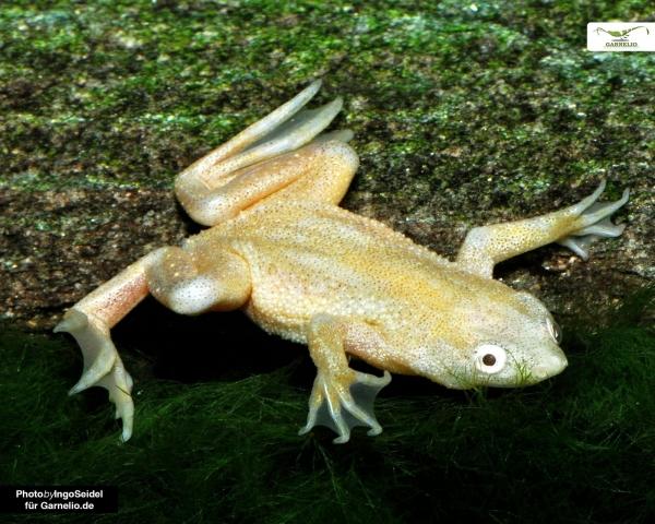 Goldener Zwergkrallenfrosch - Hymenochirus curticeps