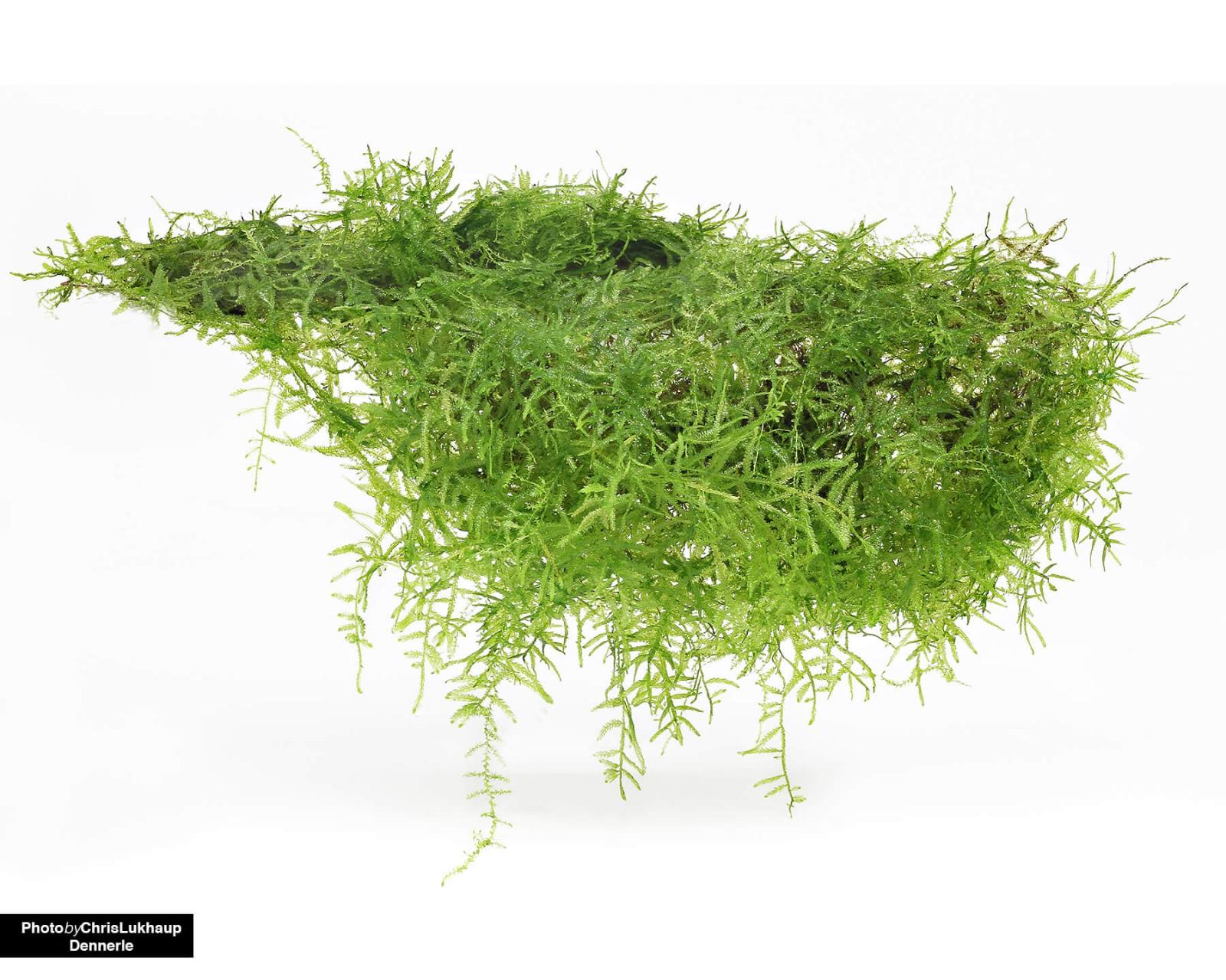 taxiphyllum barbieri dennerle invitro invitro moos invitro pflanzen aquariumpflanzen. Black Bedroom Furniture Sets. Home Design Ideas