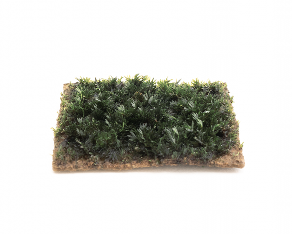 Fissidens Mini - 5x5cm Soilpad - GrowCap