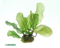 Madagaskar Gitterpflanze - Aponogeton madagascariensis - Knolle - Dennerle
