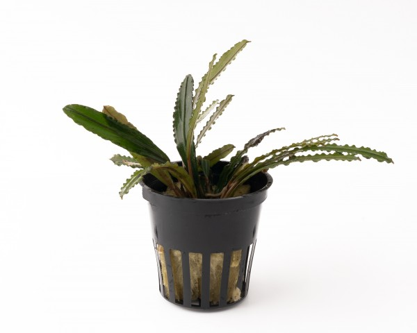 "Bucephalandra spec. ""Valis Needle"" - Rarität Nano Aufsitzerpflanze im Topf"