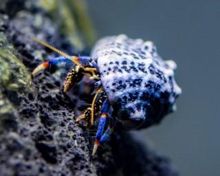 Blaubein-Einsiedlerkrebse - Clibanarius tricolor - MW